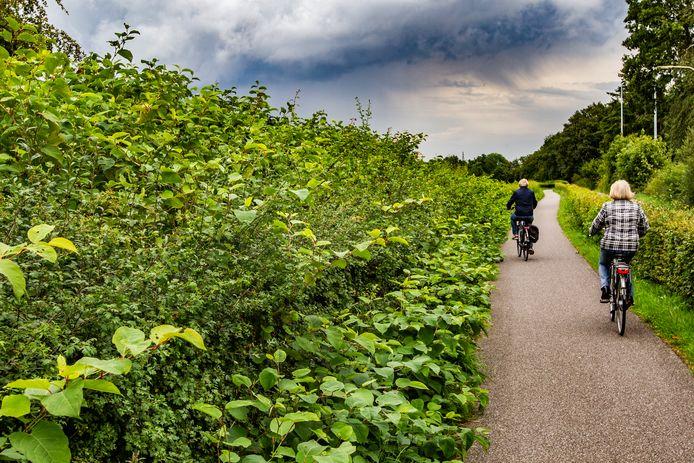 Een lint van Japanse duizendknoop langs het fietspad. Op deze plek wil de gemeente Deventer een skatepark aanleggen. Het verwijderen van de plant kost veel geld.