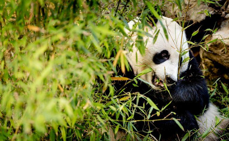 Panda Wu Wen tijdens de officiele opening van het reuzenpandaverblijf Pandasia in Ouwehands Dierenpark. Beeld Anp