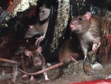 Flink meer ratten gezien in Den Bosch