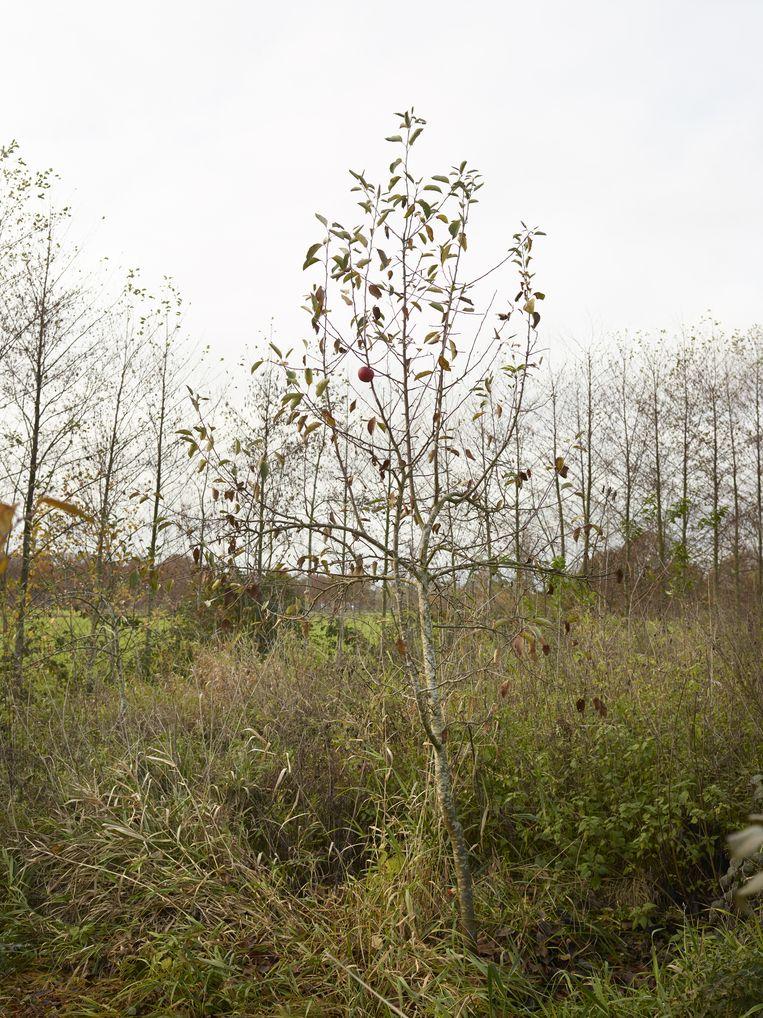 Ciderappelboom - 19 november. Beeld Henk Wildschut