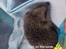 Wijkagenten vinden een egel in een aquarium tijdens huisbezoek in Molenlanden