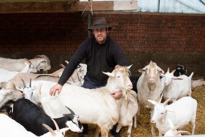 Geitenbok Elvis van boer Tom Hendrickx in Hoevenen (Stabroek) geeft melk