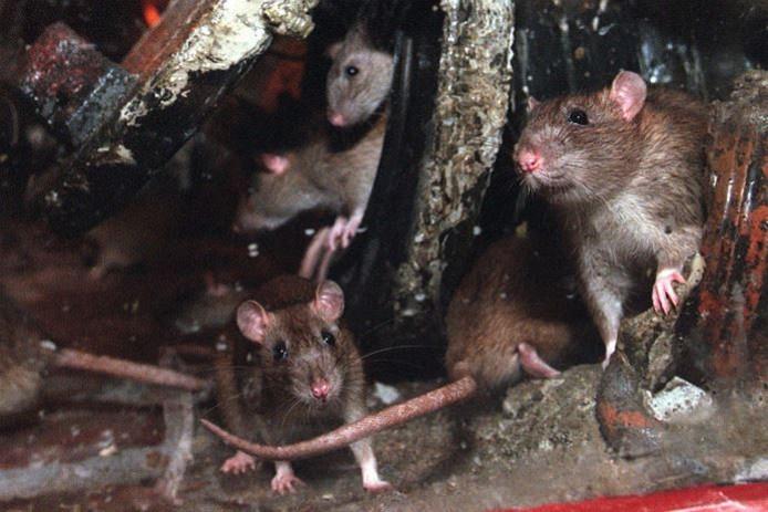 Ratten kunnen aandoeningen verspreiden als de ziekte van Weil.