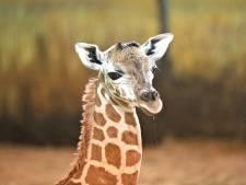 Drama in Limburgse dierentuin: giraffe zit klem in boom en overlijdt