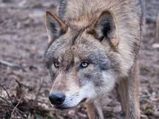 Was dood van dwergezel in Vriezenveen het werk van een wolf?