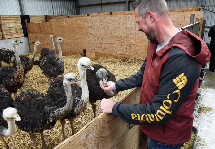 Open dag struisvogelboerderij Monnikenwerve. Patrick Byrman uit Brunssum voert de puber struisvogels.