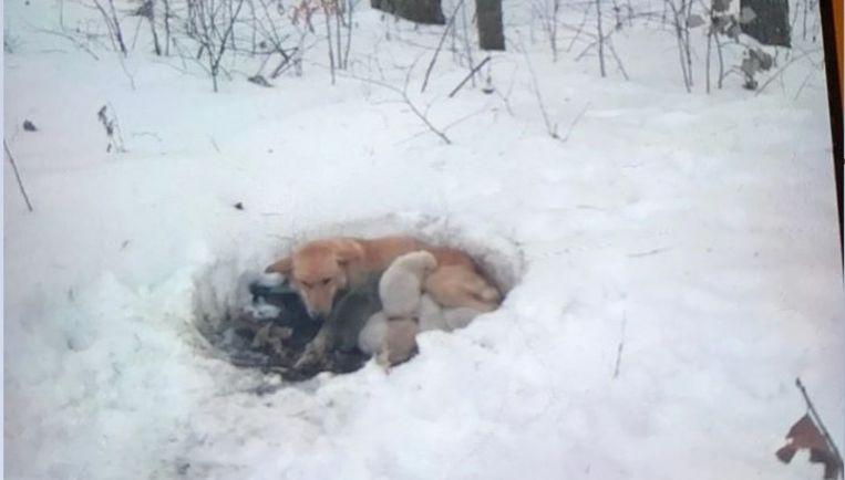 Een familie trof Snowbelle en haar pups zo aan; samen in de kou.
