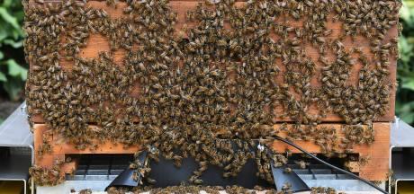 Speciaal bijenvolk verhuist naar kloostertuin in Cuijk