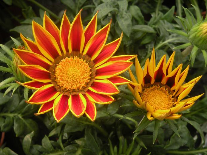 De zomer is volgens Lex Plum pas echt begonnen als zijn bloemen gaan bloeien.