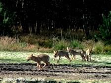 Un louveteau retrouvé mort dans le Limbourg