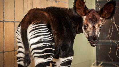 Ook voor okapi's is er 'Blind Getrouwd'