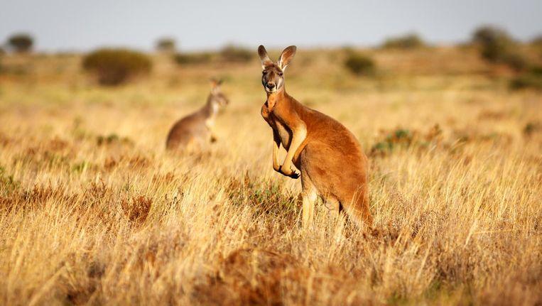 Australië telt intussen zo'n 50 miljoen kangoeroes.