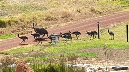 Emoes vallen Australische dorpje binnen en willen er niet meer weg