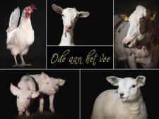 Ode aan het vee: eerbetoon aan de 'big five' van de boerderij