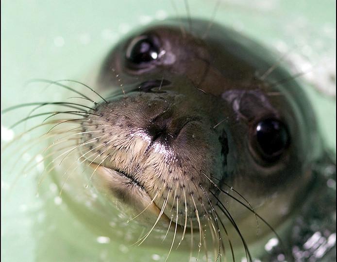 Foto van een monniksrob. De zeehond op de foto is vier maanden oud.