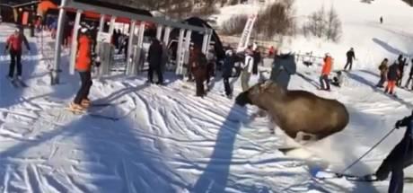 Un élan s'invite sur une piste de ski