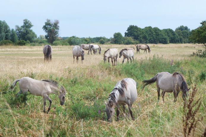 Konikpaarden op archiefbeeld, hier in de Gendtse Polder.