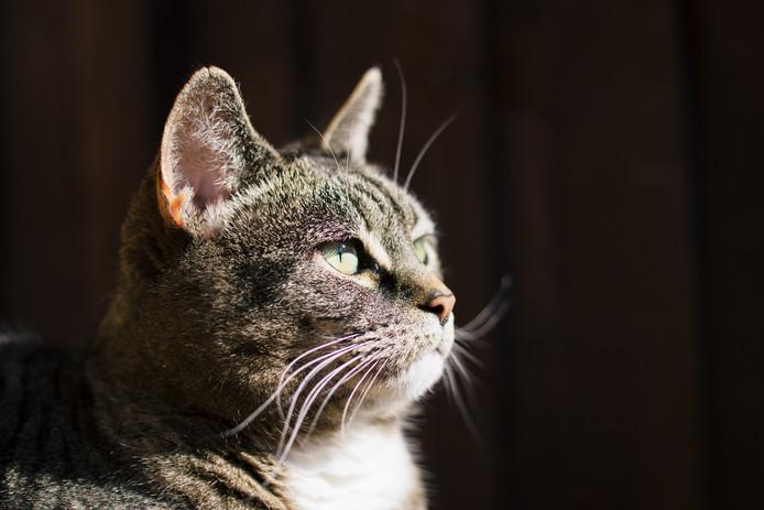 UK, Essex, female Tabby Cat looking away