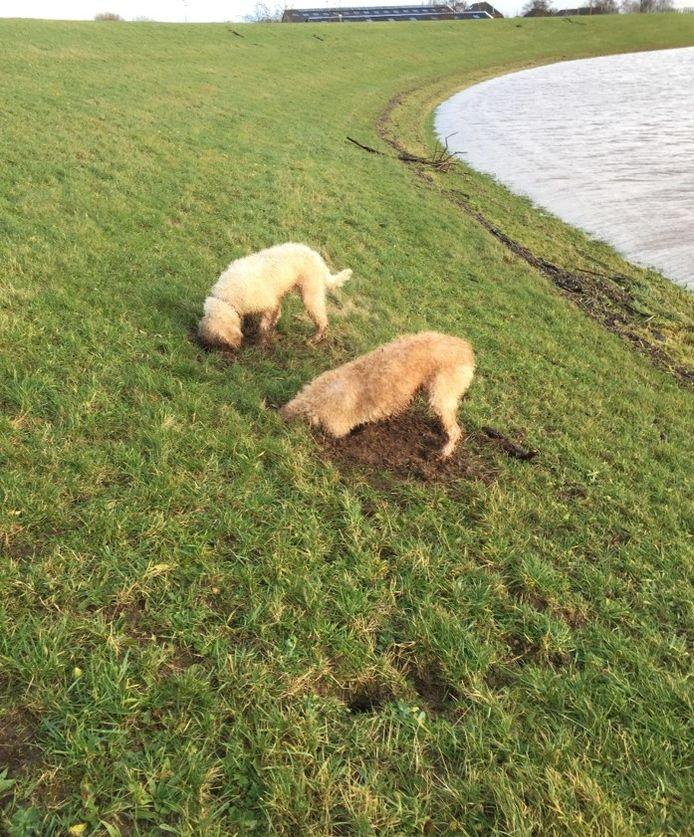 Gravende honden beschadigen de dijken, vooral rond stedelijke gebieden als Deventer, Zwolle en Kampen.