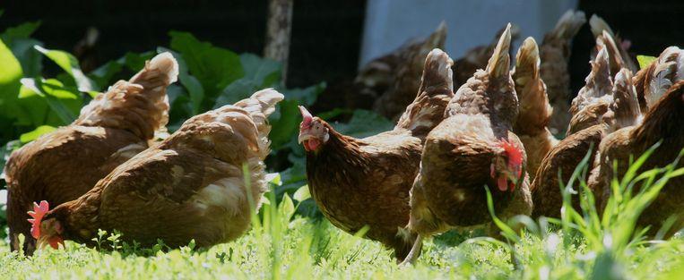 Scharrelende kippen op een boerderij in Someren Heide. Beeld anp