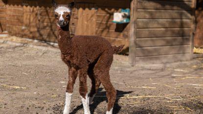 Vreugde op De Ster: heel wat geboortes in kinderboerderij, voor het eerst een nieuwe alpaca