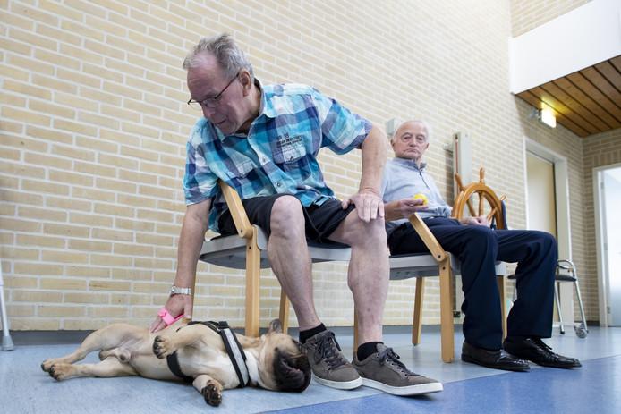 Therapiehond Teddy wordt in Krönnenzommer geborsteld wordt door meneer Jansen.