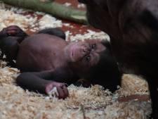 Kleine chimpansee in DierenPark Amersfoort is een vrouwtje