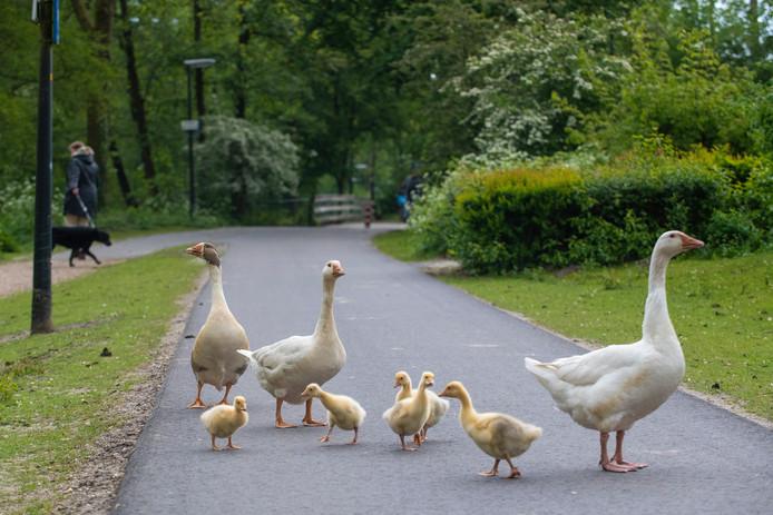 De vijf jonge ganzen op het fietspad bij de Schrijnwerkershorst.