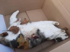 Na de dood van Dollie: politie onderzoekt meervoudige kattenmoord in Emmeloord
