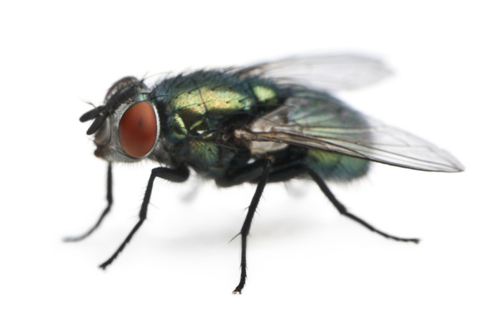 Vliegen dragen voor mensen schadelijke bacteriën bij zich.