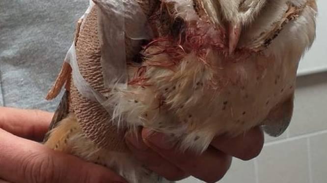 SOS Wilde Dieren verzorgt gewonde kerkuil uit Parike