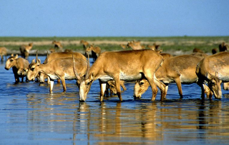Saiga-antilopen drinken water in een meer net buiten Almaty, de tweede stad van Kazachstan. Beeld afp