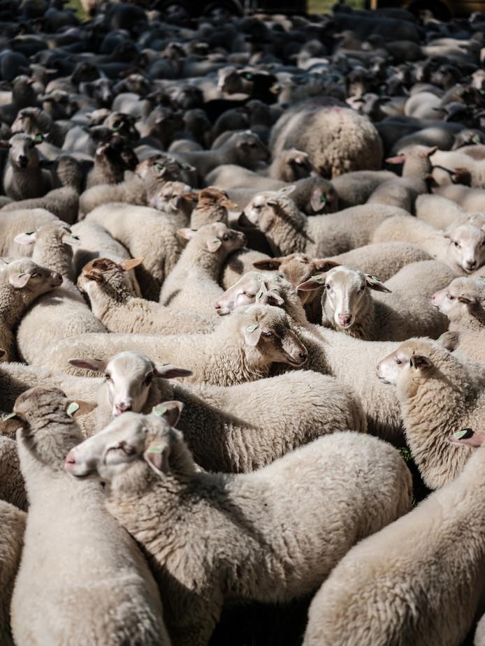 JV 13052019 Doetinchem Herder Siebe Schot met schapen kapperskolk en veearts met blauwe jas / Foto : Jan Ruland van den Brink