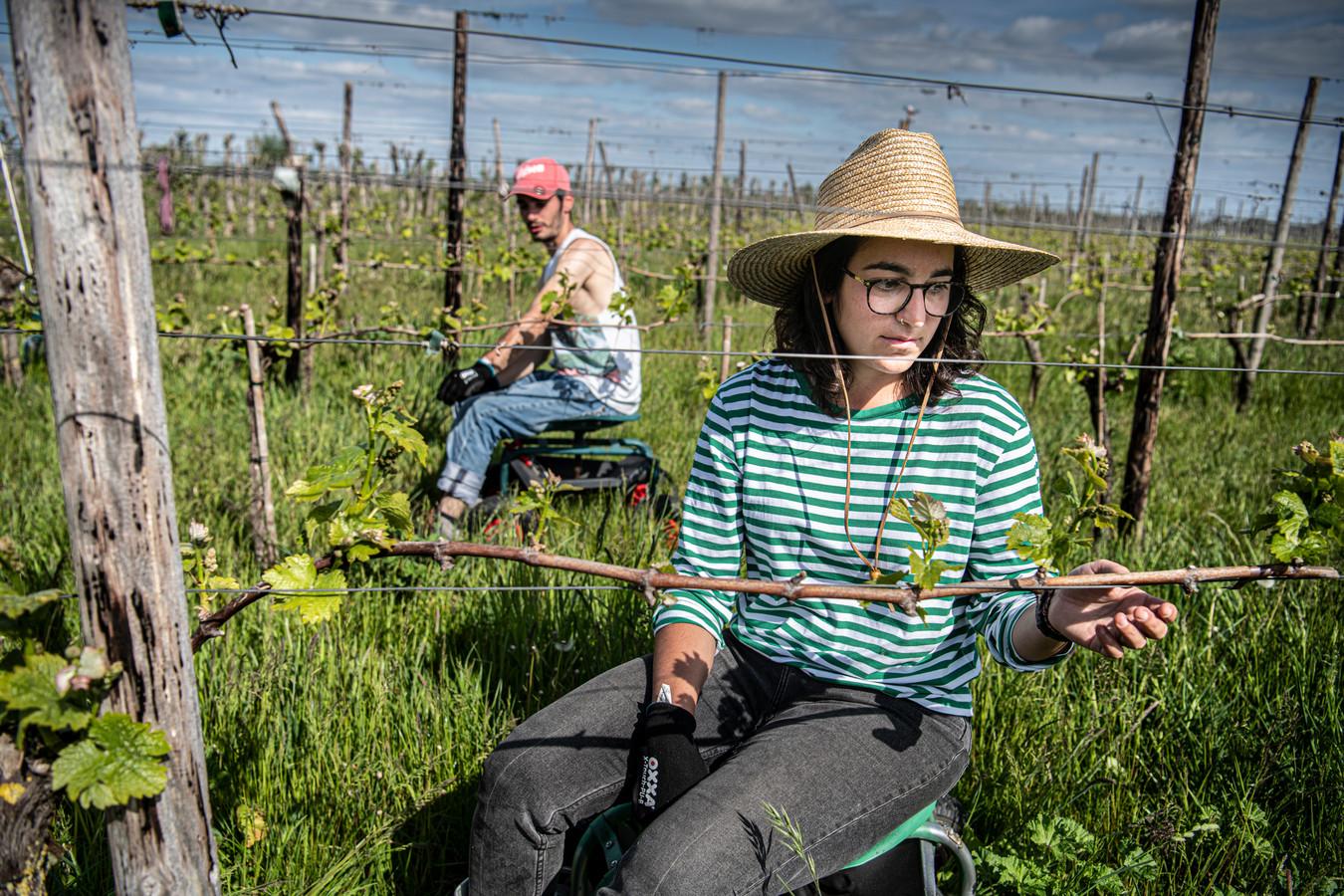 Jongeren en studenten die in de zomer normaal gesproken in de horeca of evenementenbranche zouden werken, melden zich nu als versterking bij landbouwers.