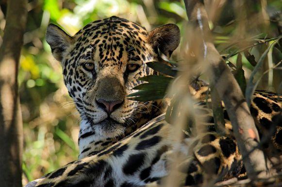 Een jaguar. De status van deze diersoort is volgens het WWF 'gevoelig'.