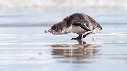 Duizenden dwergpinguïns gestorven aan Nieuw-Zeelandse kust