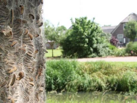 Wordt eikenprocessierups in mijn buurt al bestreden? Het antwoord staat straks op Apeldoorn.nl