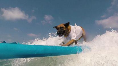 Dit is Poly, de surfende hond