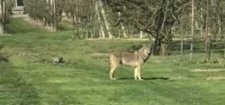 Vrij van wilde wolven