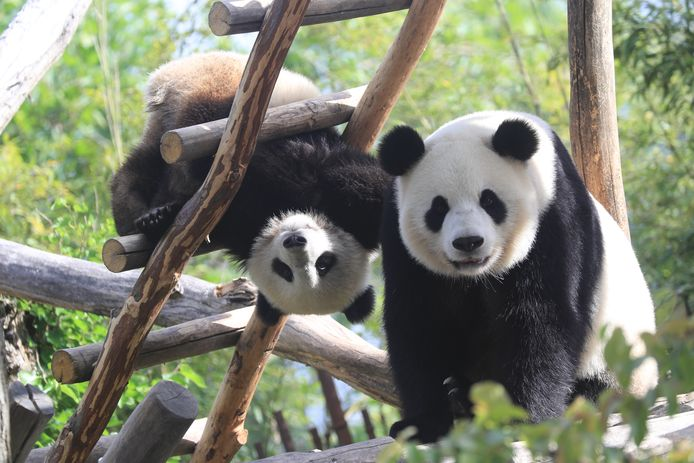 Pairi daiza Tian Bao & Hao Hao