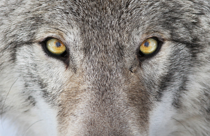 Timber Wolf, gray wolf, foto ter illustratie