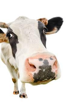 'Gestolen koe' ontwaakt in Wagenings studentenhuis