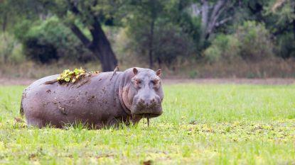 Zambia wil 2.000 nijlpaarden doden (ze verplaatsen is te duur)