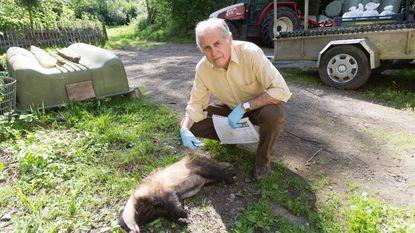 In vier jaar dubbel zoveel dassen doodgereden