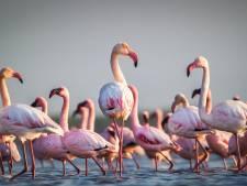 Chileense flamingo's kleuren Roegwold bij Schildwolde roze