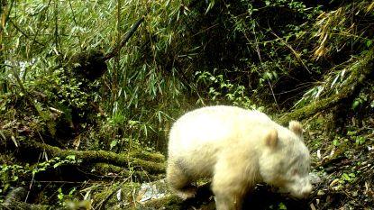 Schattige witte reuzenpanda mist zwarte vlekken
