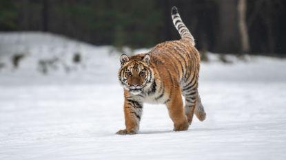 Populatie Siberische tijger in één jaar verdubbeld