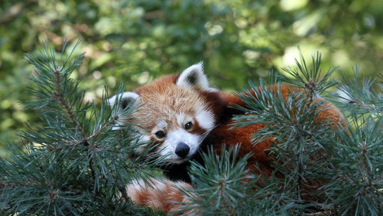In 2011 ontsnapte de kleine panda ook al eens uit zijn verblijf. Beeld Artis