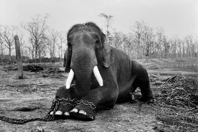 Deze olifant blijft tot zijn dood geketend in een park in Nepal. Als straf, omdat hij vijf olifantendrijvers doodde.