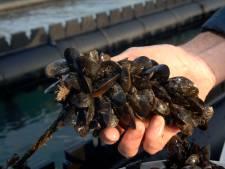 Eerste Zeeuwse hangcultuurmosselen worden vandaag geoogst